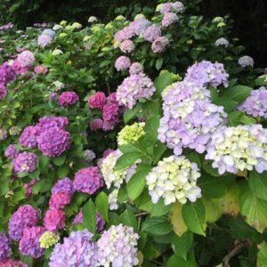 鎌倉 稲村ヶ崎海浜公園紫陽花